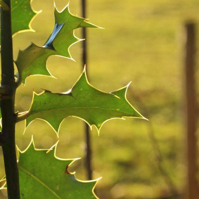 holly leaves backlit by sun