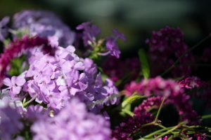 A closeup photo of purple phlox and magenta amaranth.